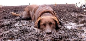 Why Dogs Love To Roll In Mud After Bath